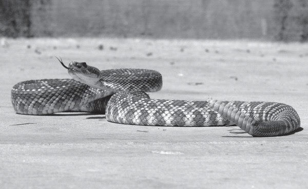 JANN HENDRY/Acorn Newspapers READY TO STRIKE-Experts predict a busy season for rattlesnakes this year. The extended cold winter kept the critters in hibernation longer, meaning that when they wake up they'll be highly active.