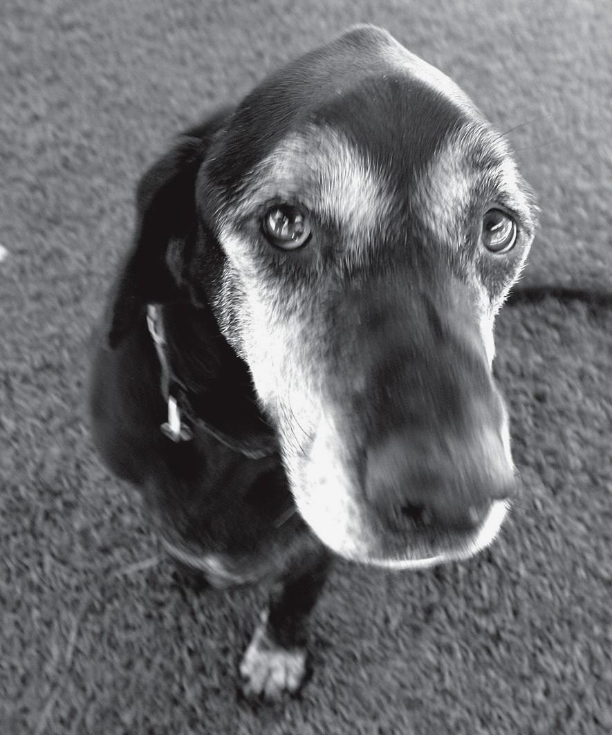 LIKABLE LAB—Tyrus is a 9- year- old lab/hound mix. Tyrus is happy, mellow, friendly, knows some commands and loves to be around people. If you would like to adopt Tyrus, ask for ID No. A4462719 at the Agoura Hills Animal Shelter, 29525 Agoura Road. Occasionally pets have already been adopted, so check http:// animalcare.lacounty.gov before visiting the shelter.