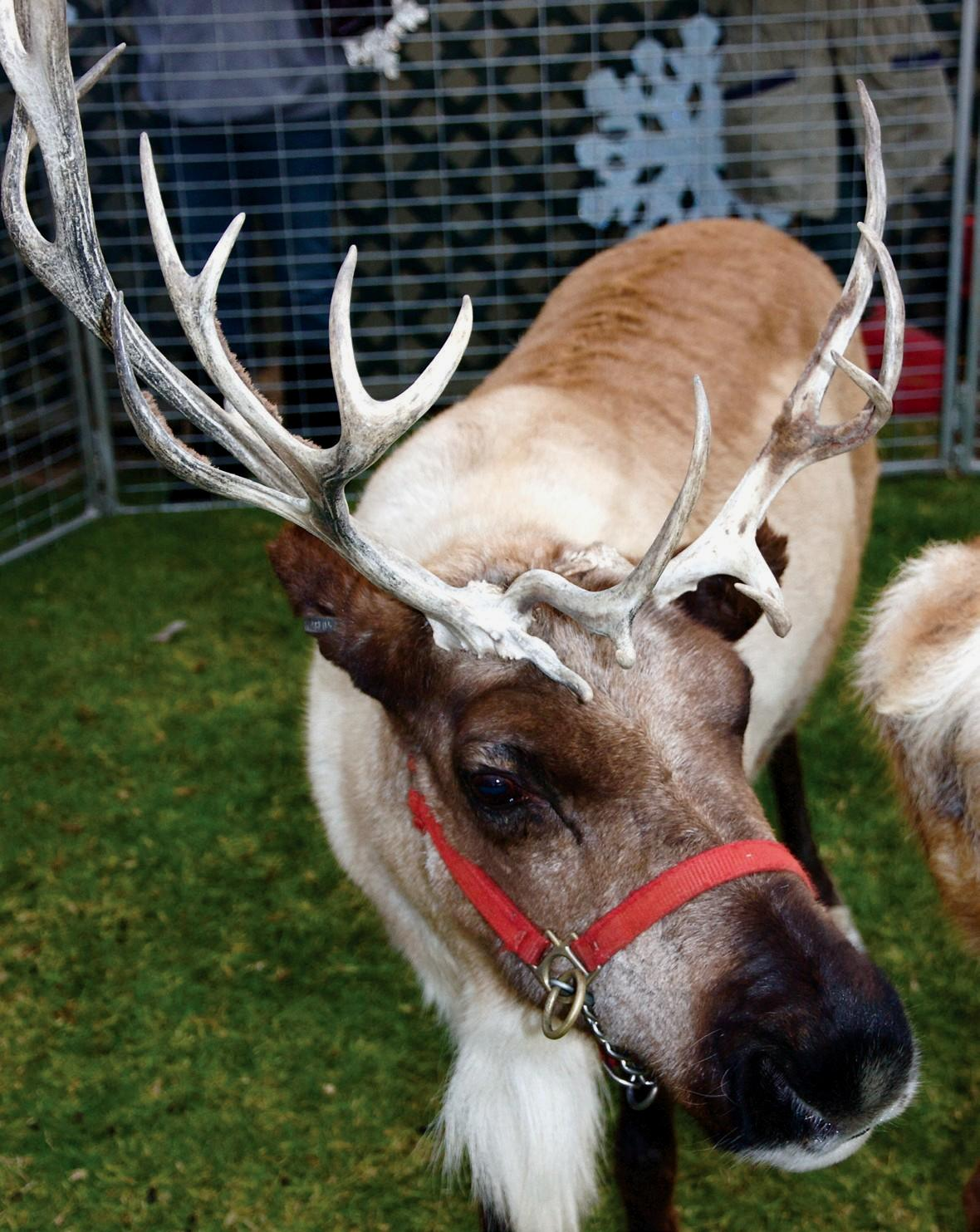 IS IT RUDOLPH?—A reindeer at last year's Winter Wonderful is posed for petting. Youngsters can see live reindeer as well as Santa and Mrs. Claus at the annual holiday event at Ventura Harbor Village.